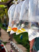 goldfish in small, tied plastic bags